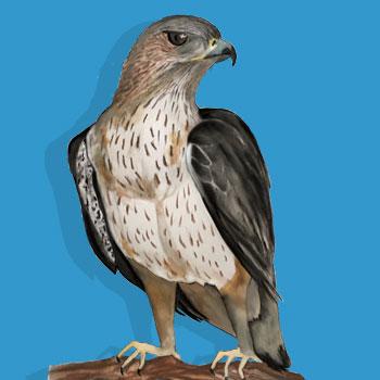 aguia-de-bonelli2.jpg